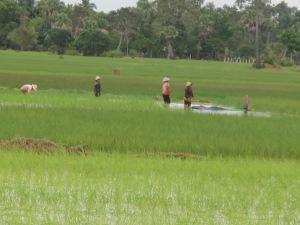 Khmer women working in padi fields