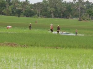Khmer women working in padi fields