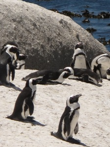 Penguins, Boulder Beach
